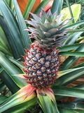 Pineapple Growing in a Leafy Plant. A small pineapple is growing inside a leafy plant. Pineapples grow from the ground up and within the plant. The sword like stock photography