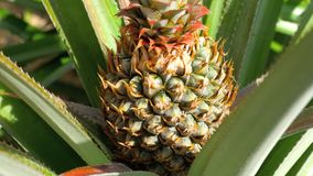 Pineapple growing on pineapple plant. Pineapple tropical fruit growing in a plant, Thailand stock footage