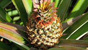 Pineapple growing on pineapple plant. Pineapple tropical fruit growing in a plant, Thailand stock video