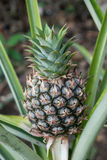 Pineapple Growing Stock Images