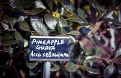 Pineapple guava Royalty Free Stock Images