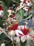 Pineapple guava. Blooms growing on the plant Stock Images