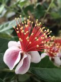 Pineapple guava flower. Pineapple guava bloom growing on the plant Royalty Free Stock Images
