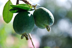 Pineapple Guavas. Ripening on the tree Royalty Free Stock Photo