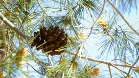 Pineapple hangin at branch of pine tree a sunny day. Pineapple hangin at branch of pine a sunny day stock video footage