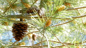 Pineapple hangin at branch of pine tree a sunny day. Pineapple fruit hangin at branch of pine a sunny day stock video footage
