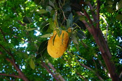 Pineapple honey fruit Royalty Free Stock Photos