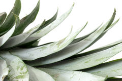 Pineapple leafs Royalty Free Stock Photography