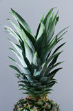 Pineapple leaves Royalty Free Stock Image