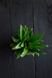 Pineapple leaves Stock Images