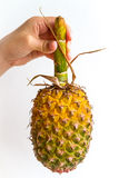 Pineapple with Long Stem. A pineapple held by its long stem by the hand of a young woman, isolated on white Royalty Free Stock Photo