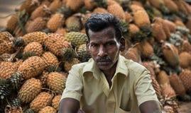 Pineapple harvesting in kerala stock image
