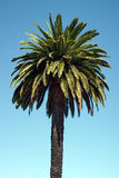 Pineapple palm or Canary Island date palm Royalty Free Stock Photo