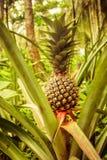 Pineapple plant view. Pineapple plant on organic farm in Latin America stock photos