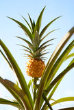 Pineapple Plant. Pineapple on the plant tropical fruit on sky background royalty free stock photography