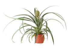 Pineapple plant Stock Images