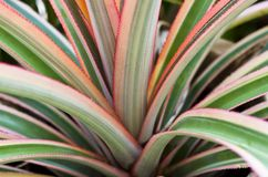 Pineapple Plant. A close up of a pineapple plant stock image