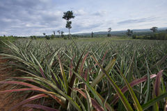 Pineapple Plant. The pineapple plant in thailand local stock photo