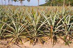 Pineapple plant Royalty Free Stock Photo