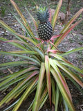 Pineapple plant Royalty Free Stock Images
