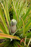Pineapple Plant Royalty Free Stock Photography