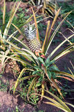 Pineapple plant. (Ananas comosus) in a demonstration farm in South Sudan royalty free stock images