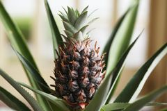 Pineapple plant. Close view of pineapple plant with a fruit stock image