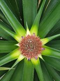 Pineapple plant colourful top view. Young pineapple fruit growing, colourful top view from the middle of the pineapple plant stock images