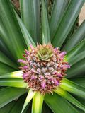 Pineapple plant colourful top view. Young pineapple fruit growing, colourful top view from the middle of the pineapple plant royalty free stock images