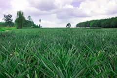 Pineapple plant field. In Thailand Stock Photos
