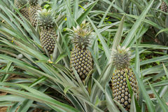 Pineapple plant field. In rubber garden Royalty Free Stock Photo