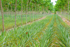 Pineapple plant field in rubber garden Royalty Free Stock Images
