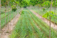 Pineapple plant field in rubber garden Royalty Free Stock Photos