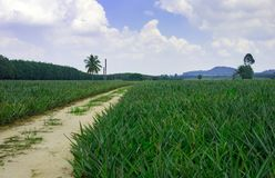 Pineapple plant field. In Thailand stock photography