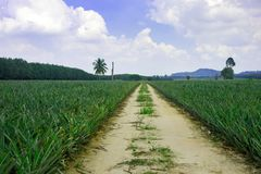 Pineapple plant field. In Thailand royalty free stock photo