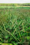 Pineapple plant field. In Thailand royalty free stock photography