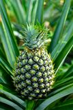 Pineapple plant and fruit. The pineapple Ananas comosus is a tropical plant with an edible multiple fruit consisting of coalesced berries, also called pineapples royalty free stock photography