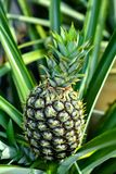 Pineapple plant and fruit. The pineapple Ananas comosus is a tropical plant with an edible multiple fruit consisting of coalesced berries, also called pineapples stock photography