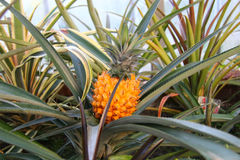 Pineapple plant in a greenhouse. Varietal pineapple plant growing in the greenhouse Royalty Free Stock Photography
