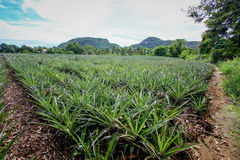 Pineapple plant. In hua-hin Thailand Royalty Free Stock Images