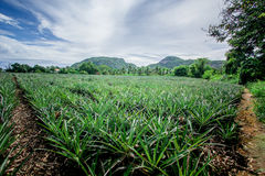 Pineapple plant. In hua-hin Thailand Stock Photo