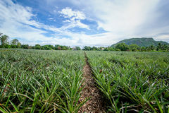 Pineapple plant. In hua-hin Thailand Royalty Free Stock Photos