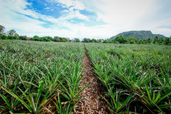 Pineapple plant. In hua-hin Thailand Royalty Free Stock Photography