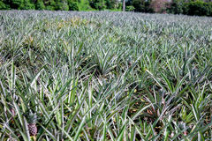 Pineapple plant. In hua-hin Thailand Stock Image