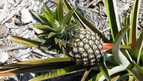 Pineapple plant. At Jupiter Lighthouse park in Jupiter florida stock photos