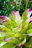 Pineapple plant. Neoregelia Spectabilis Hybrid pineapple plant Stock Photography