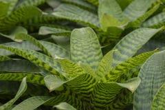 Pineapple plant. Pineapple plant, Neoregelia Spectabilis Hybrid Royalty Free Stock Photography