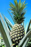 Pineapple Plant. On a ation stock photo