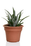 Pineapple plant in a pot. Closeup of pineapple plant in a pot royalty free stock image