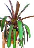 Pineapple plant Stock Photography